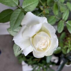 ショッキングピンク/ボレロ/ばら/薔薇/バラ こんにちは😊 久々の投稿です…… 今月初…