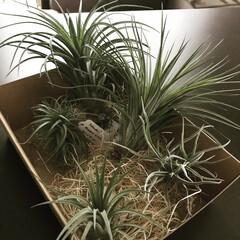 インテリアグリーン/植物のある暮らし/グリーン/エアプランツ 東京のお土産✨ チランジア‼︎ 水分でパ…
