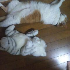 お昼寝 ネコ/デブリん バニラ 友達/ヘソ天 いつも無防備にお腹を出して寝ている「バニ…