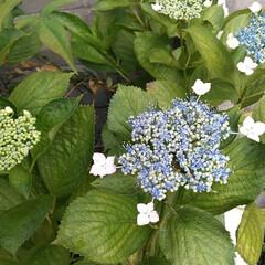 おとなのお遊び/万華鏡 六月。 小庭のあじさい。 スマホの万華鏡…(2枚目)