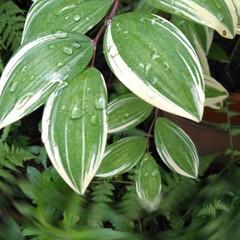 あじさい/賃貸アパート/雨季ウキフォト投稿キャンペーン/暮らし/おうち自慢 小庭の植物。 あじさいとナルコユリ。(2枚目)
