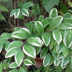 植物/おとなのお遊び/万華鏡/みんなにおすすめ 小庭のナルコユリの葉。 又又、スマホ写真…(2枚目)