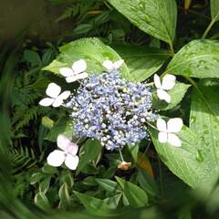 あじさい/賃貸アパート/雨季ウキフォト投稿キャンペーン/暮らし/おうち自慢 小庭の植物。 あじさいとナルコユリ。