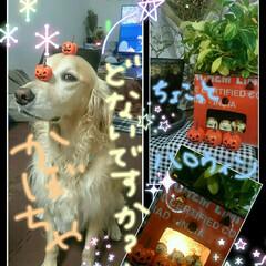 バーベキューコンロ/ブリキ/秋/ハロウィン/ペット/犬/... 今晩は.+*:゚+。.☆ 今回は、我が家…