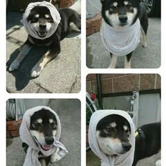 ペット/ファッション/黒柴/柴犬/平成最後の夏 プロフィールの写真をのせてみました😊 お…