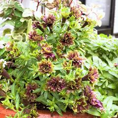 ペチュニア/湘南リブル/ガーデニング/玄関 玄関前の寄せ植えが夏のダメージで壊滅的だ…