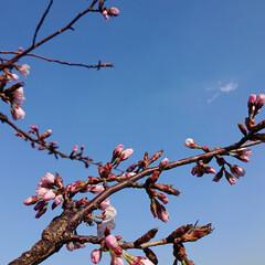 春が来た/まだまだ蕾の方が多い/北海道も桜が咲いてきました/春/至福のひととき/風景/... 職場の敷地内の桜🌸が咲いてました。 まだ…