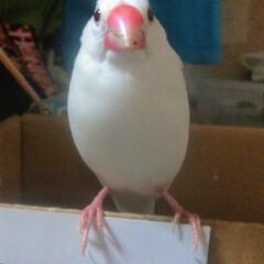 白文鳥/フォロー大歓迎 この子は去年飼った白文鳥の豆です。 「皆…