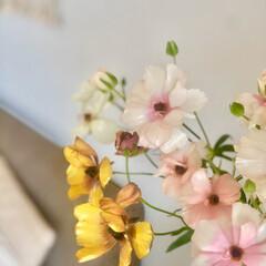 暮らし 今朝のラナンキュラス  #お花のある暮ら…
