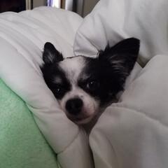 ナナちゃん 我が家の愛犬、チワワのナナちゃん‼️最近…