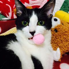 フワフワボール/cat/猫/ペット/おもちゃ/お気に入り/... フワフワボールを咥えたままボーッとしたり…