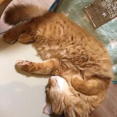 ペット/猫 いつもの椅子で… 1枚目のポーズ大好き💕…(2枚目)