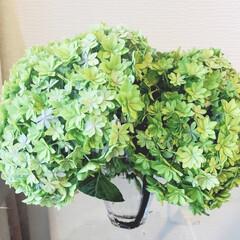 花が好き/花がある暮らし/紫陽花の剪定/紫陽花 以前に投稿させて頂いた 紫陽花の緑子さん…