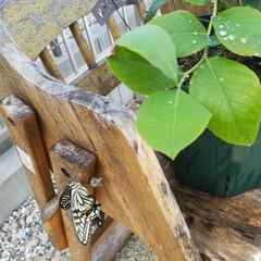 ブルーベリー/アゲハ蝶 アゲハ蝶が孵化してたました((´^ω^)…