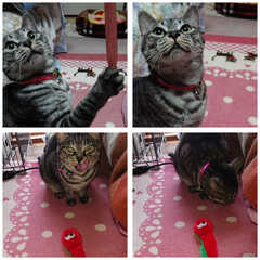 猫 このヒモを、引っ張るとごちそう🐟️🍗🍰が…