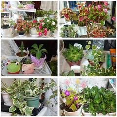 インテリア/100均/ダイソー/ガーデニング/花/猫 ベランダの花🌸💠🌱🌵🌿達をお部屋に移動🎶…