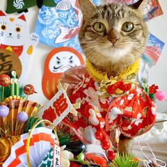 リミアペット同好会/リミアペット/獅子舞/着物/保護猫/スコティッシュフォールド/... 友子ちゃんもお着物を着て お正月…😻🎍♥…