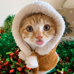 リミアペット同好会/リミアペット/子猫/猫部/スコティッシュフォールドフォールド/スコティッシュ/... ごートナカイだぞ🐯♥️