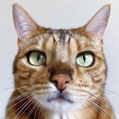 ベンガル猫/ベンガルキャット/ベンガル/多頭飼い/猫部/LIMIAペット同好会/... 真正面から 飾り気なしの勝負写真だにゃ😻…