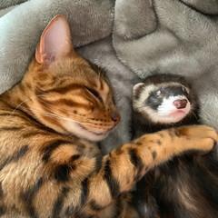 異種動物/エキゾチックアニマル/小動物/フェレット/ベンガル/ねこ/... 久しぶりにロディにぃにとお昼寝だぷっくー…