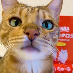 アメショ/ベンガル/保護猫/子猫/スコティッシュフォールド/スコティッシュ/... いなばさんから CIAOちゅ~る半年分を…(7枚目)