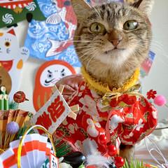リミアペット同好会/リミアペット/獅子舞/着物/保護猫/スコティッシュフォールド/... 友子ちゃんもお着物を着て お正月…😻🎍♥…(4枚目)