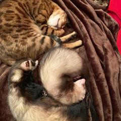 エキゾチックアニマル/小動物/フェレット/ベンガル猫/ベンガルキャット/ベンガル/... くぅはね、こんな風に 毎日にぃたん達とお…(4枚目)
