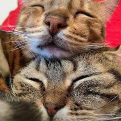 兄弟/スコティッシュフォールド/スコティッシュ/ベンガル/ベンガルキャット/ベンガル猫/... がった~い😂💓😂 弟の上に頭を乗せてみた…