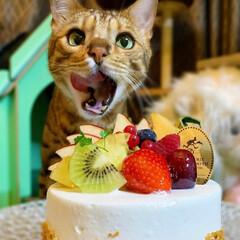 おじいちゃん/猫/ねこ/ベンガルキャット/ベンガル/ケーキ/... ロディちゃん🎂😻🎀 お誕生日おめでとう❤…