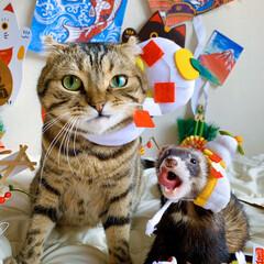 エキゾチックアニマル/小動物/鏡餅/正月飾り/フェレット/スコティッシュフォールド/... まん丸同士で 鏡餅に変身😻♥️🐻  (2枚目)