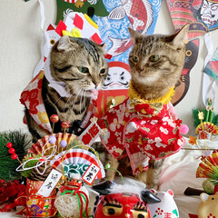 リミアペット同好会/リミアペット/獅子舞/着物/保護猫/スコティッシュフォールド/... 友子ちゃんもお着物を着て お正月…😻🎍♥…(5枚目)