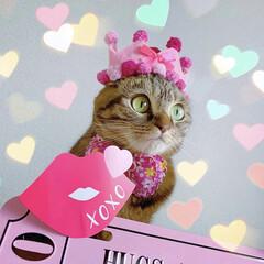 スコティッシュフォールド/スコティッシュ/保護猫/バレンタイン/LIMIAペット同好会/フォロー大歓迎/... バレンタインは、ともにゃん大好きなイベン…