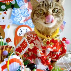 リミアペット同好会/リミアペット/獅子舞/着物/保護猫/スコティッシュフォールド/... 友子ちゃんもお着物を着て お正月…😻🎍♥…(2枚目)