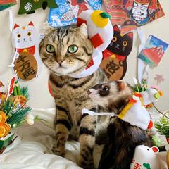 エキゾチックアニマル/小動物/鏡餅/正月飾り/フェレット/スコティッシュフォールド/... まん丸同士で 鏡餅に変身😻♥️🐻  (6枚目)