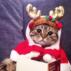 クリスマスイブ/コスプレ/サンタコス/サンタクロース/トナカイ/スコティッシュフォールド/... 🎅🎄⛄Meow Christmas🎅🎄⛄…