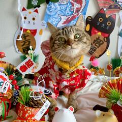 リミアペット同好会/リミアペット/獅子舞/着物/保護猫/スコティッシュフォールド/... 友子ちゃんもお着物を着て お正月…😻🎍♥…(3枚目)