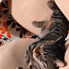 寝る/マンチカン/ねこ/猫 リラックスして寝てくれるマンチカンのキン…