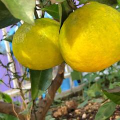 果樹/庭/きいろ/黄色/旅/みかん/... 長男の誕生樹として植えたミカンの木に今年…(2枚目)