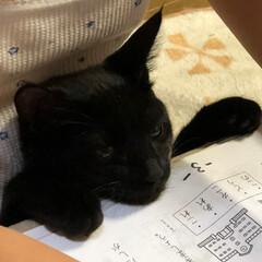 すわる/勉強/黒猫/ペット/猫/大の字/... 末っ子といつも一緒 黒猫のヒメちゃん