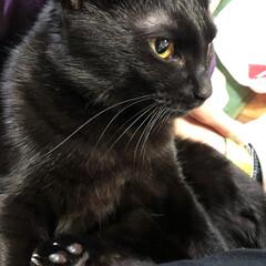 リラックス/ひめちゃん/黒猫/黒/猫/マンチカン