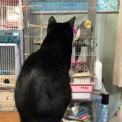 鳥かご/トリ/オカメインコ/黒猫/ネコ/猫 オカメちゃんの前で張ってます(笑) ジー…