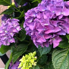 玄関先/紫/むらさき/あじさい/紫陽花 今年は紫陽花がきれいに花をつけた😊 玄関…