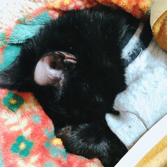 お布団/寝る/ぐっすり/ペロペロ/寝んね/マンチカン/... 避妊手術してグロッキーなひめちゃん ひた…