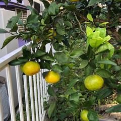 果樹/庭/きいろ/黄色/旅/みかん/... 長男の誕生樹として植えたミカンの木に今年…(1枚目)