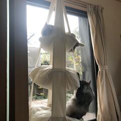 キャットトラピーズ/キャットタワー/遊ぶ/猫/DIY キャットトラピーズでくつろぐ アリーさん…(2枚目)