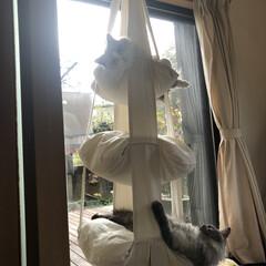 キャットトラピーズ/キャットタワー/遊ぶ/猫/DIY キャットトラピーズでくつろぐ アリーさん…(1枚目)