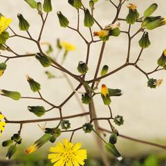 野の花/花/庭/絵手拭い/暮らし リビングの絵手拭い 5月バージョン🌷 藤…(6枚目)