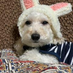 帽子/トイプードル 昨日帽子を作ってみましたが耳がビンチョお…