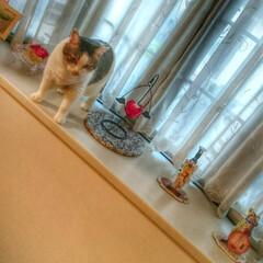 猫/出窓/インテリア/可愛い 我が家のアイドル、まめちゃん。 あらら、…