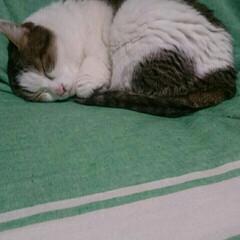 可愛い/まめちゃん/猫/にゃんこ同好会 まめちゃんまた寝てる。。❤  なんか、小…